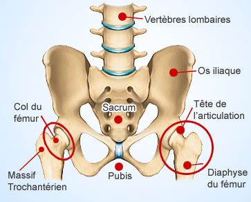 anatomie-fracture-col-du-femur-chirurgie-paris