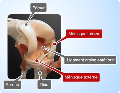 anatomie du genou l articulation du genou sert à rattacher 2 os le ...
